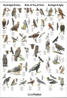 Rovfugle & Ugler